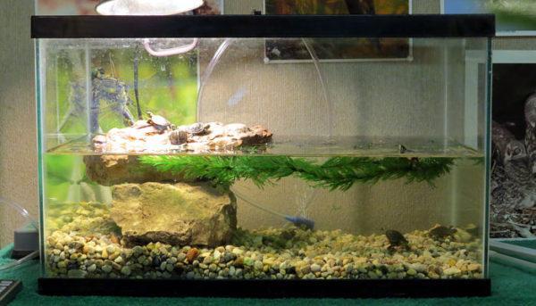 Маленькие красноухие черепашата в аквариуме
