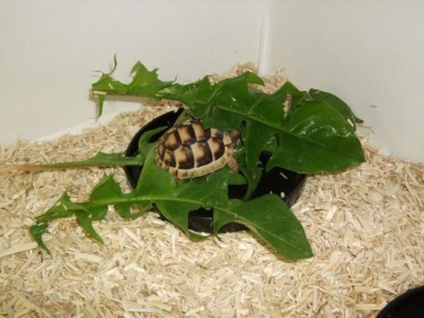 Кормление листьями одуванчика новорожденной сухопутной черепахи