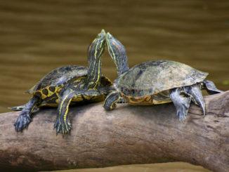 Брачный период у красноухих черепах