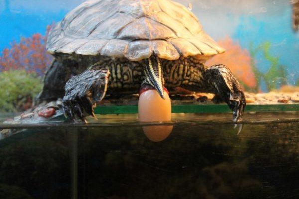 Красноухая черепаха откладывает яйца