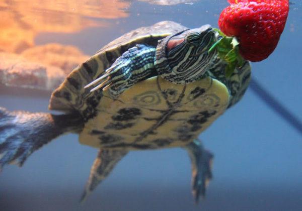 Кормление красноухой черепахи в воде