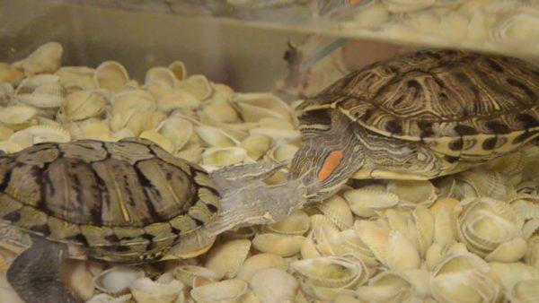 Ухаживания самца красноухой черепахи за самкой