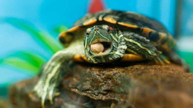 Красноухая черепаха с кормом во рту