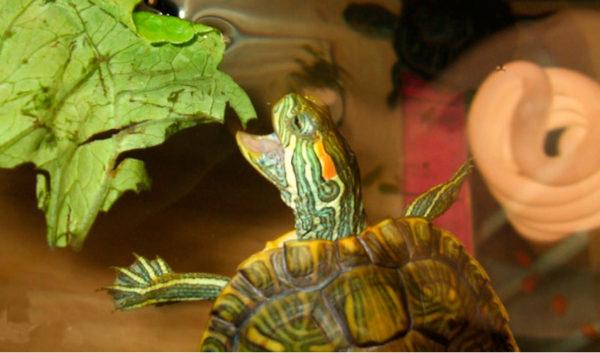 Красноухая черепаха ест лист салата