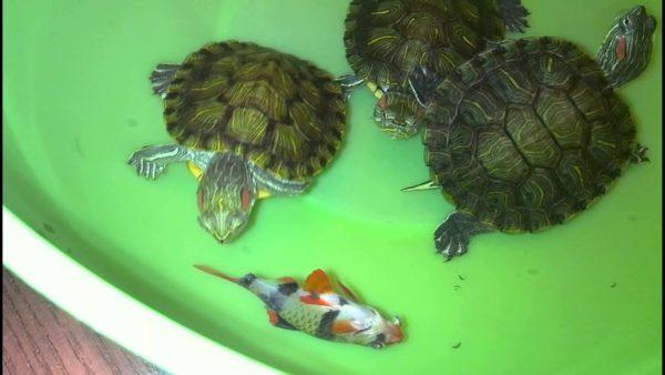 Молодые красноухие черепашки едят рыбу