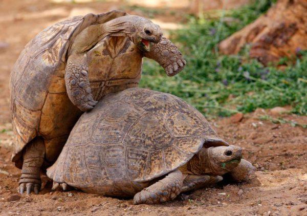 Спаривание сухопутных черепах