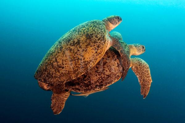 Спаривание морских черепах