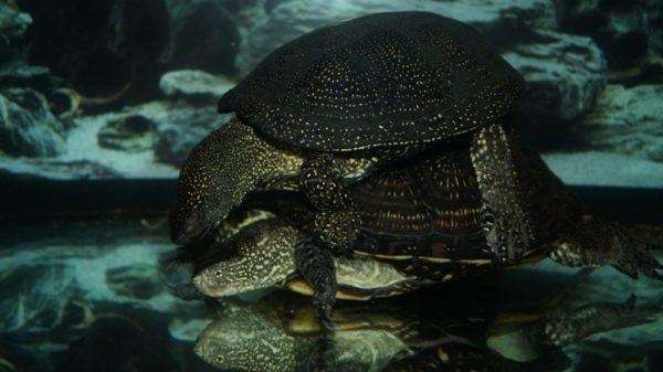 Спаривание водных болотных черепах