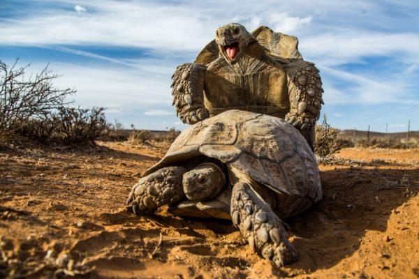 спаривание гигантских черепах