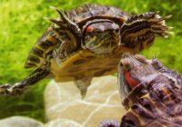Брачные игры красноухих черепах