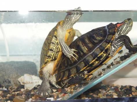 Спаривание красноухих черепах
