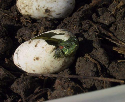 Вылупление красноухой черепахи из яйца