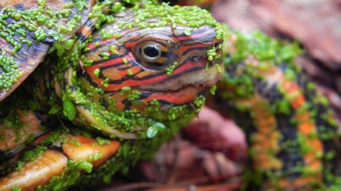 Расписная черепаха в ряске