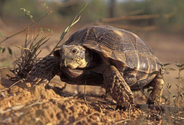 Сухопутная пустынная мексиканская черепаха