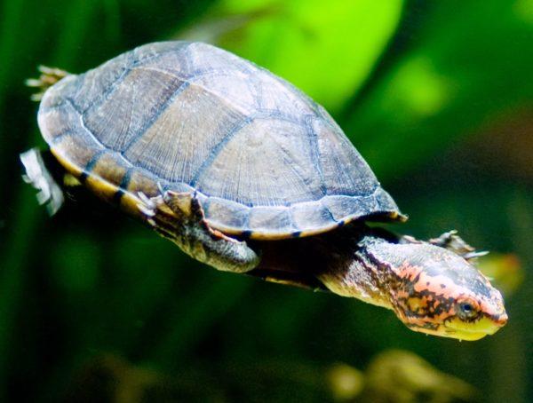 Иловая водная черепаха