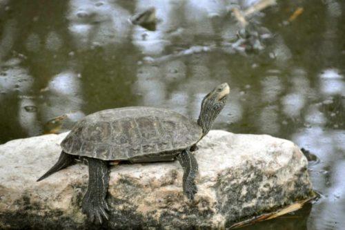 Пресноводная каспийская черепаха