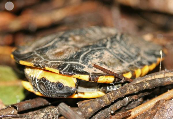 Водная красноголовая плоская черепаха
