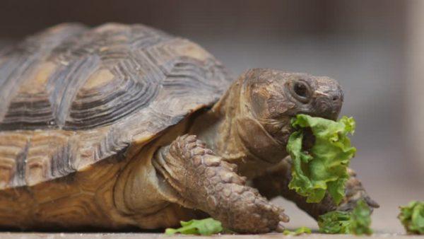 Среднеазиатская черепаха ест листья салата