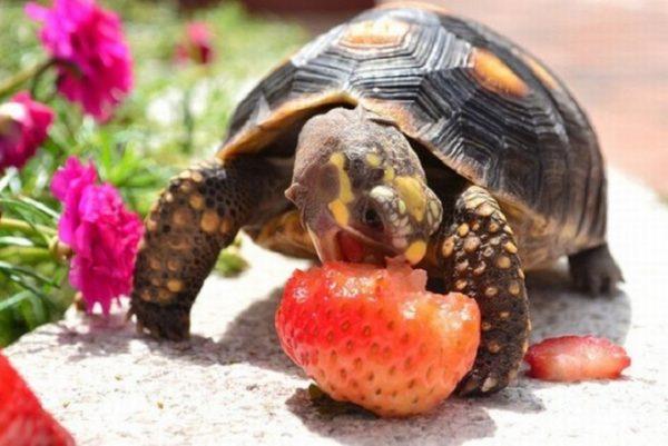 Сухопутная черепаха ест клубнику