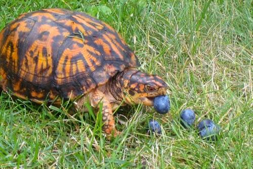 Сухопутная черепаха ест ягоды черники