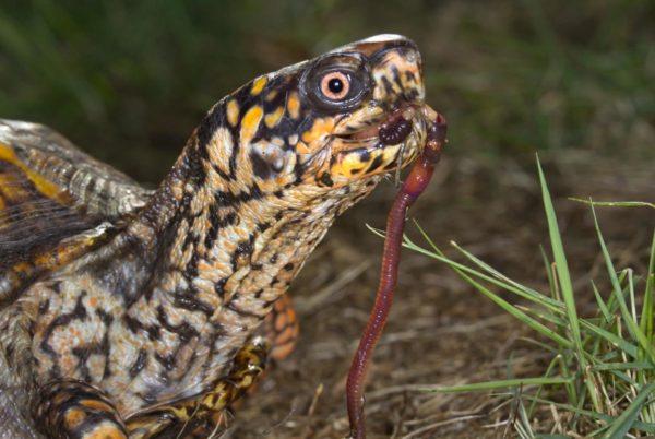 Сухопутная черепаха ест дождевого червя