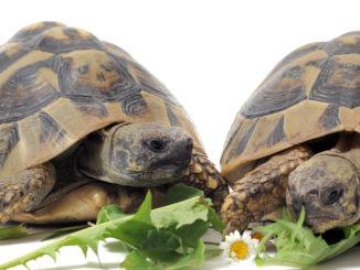 Среднеазиатские черепахи едят траву