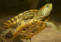 Красноухая черепаха плавает