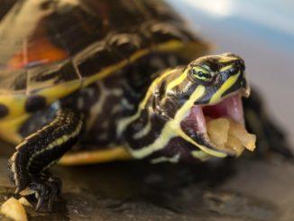 Водная черепаха ест