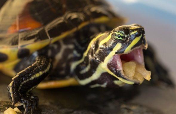 Сколько кормить красноухую черепаху — Domdrug | 381x590