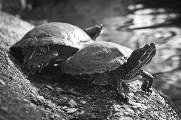 Черно-белое фото красноухой черепахи
