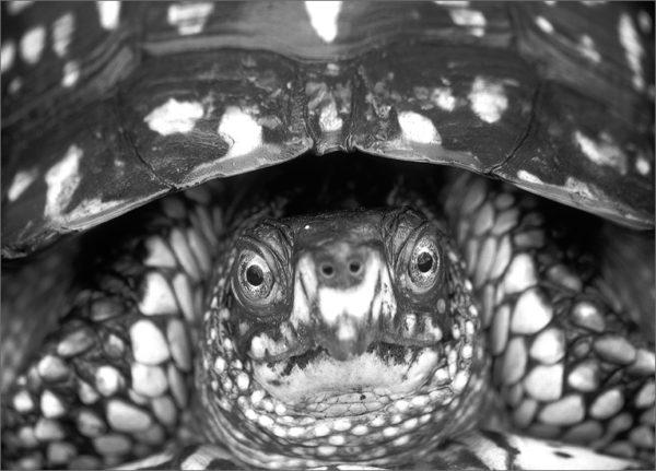 Черно-белое фото болотной черепахи
