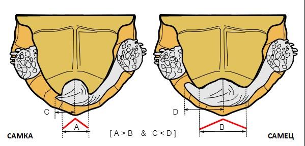 Отличие самки от самца сухопутной черепахи по отверстию для хвоста