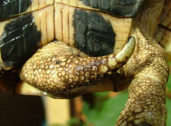 Наконечник на хвосте черепахи