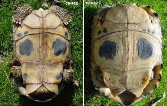 Отличие самки от самца сухопутной черепахи по панцирю