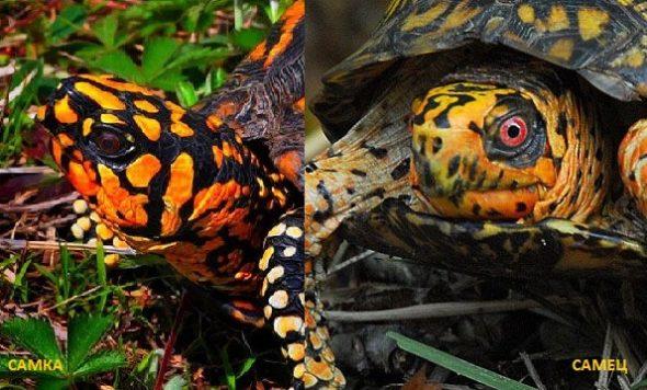 Отличие самки от самца сухопутной черепахи по цвету глаз